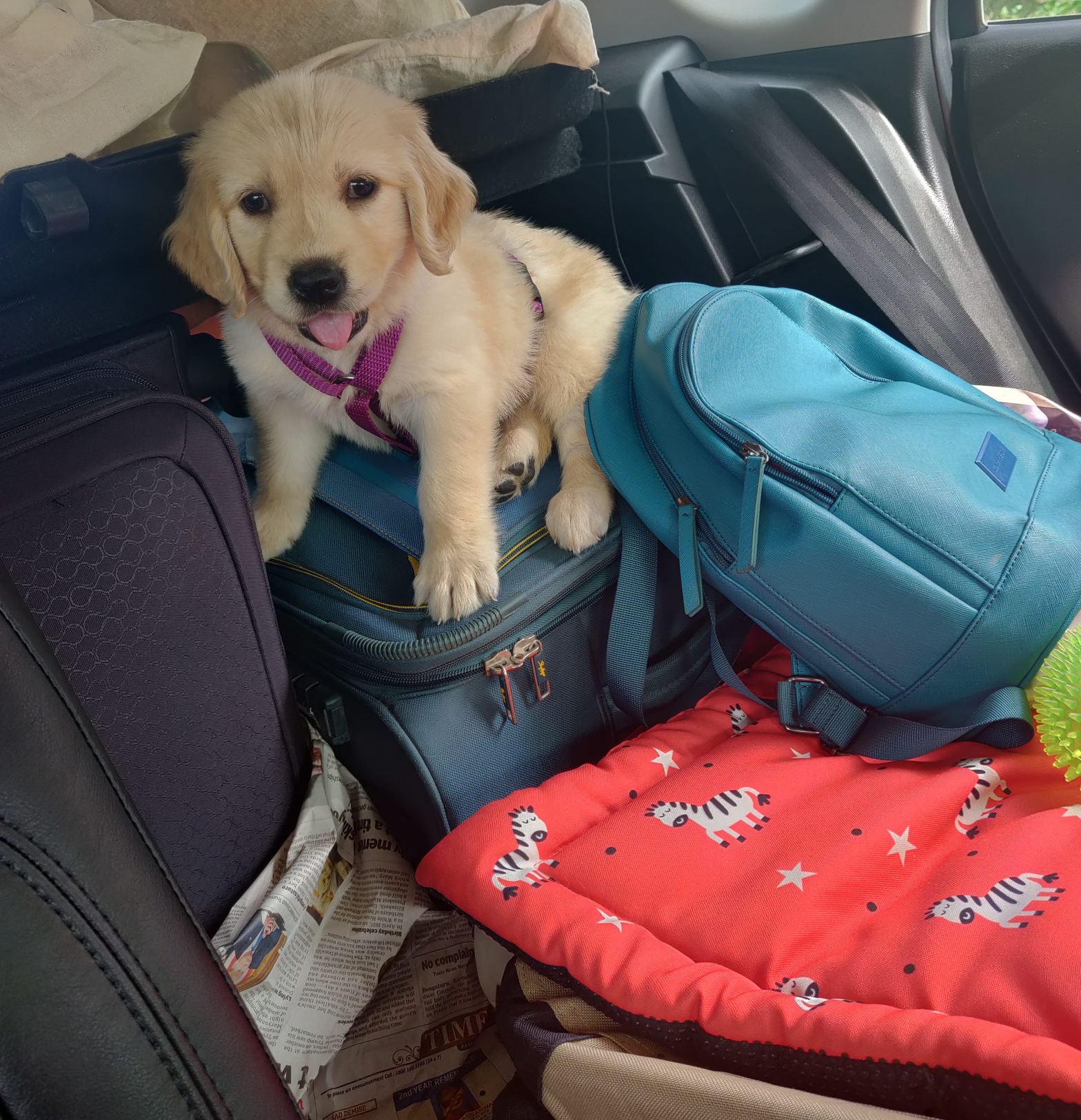 A month old pup atop luggage, ready to travel for the first time.
